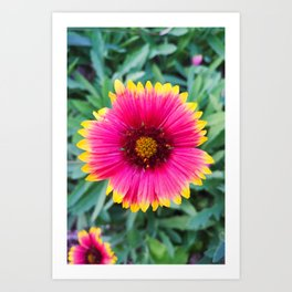 Happy Gaillardia Art Print