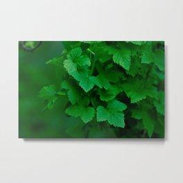 blackcurrant leaves texture Metal Print
