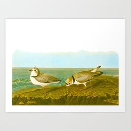 Piping Plover Bird Art Print