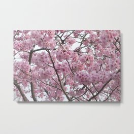 Cherry Blossom Trees. Pink flowers Metal Print