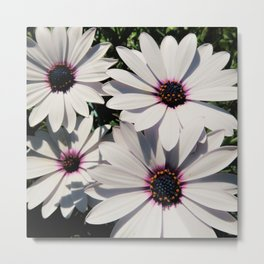 white daises with blue eyes Metal Print