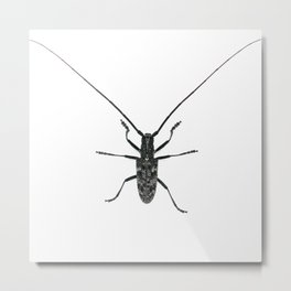 Spotted Pine Sawyer (Monochamus clamator) Metal Print