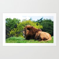 Lion laying in the sun Art Print