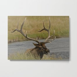 Bull elk with very large antlers Metal Print