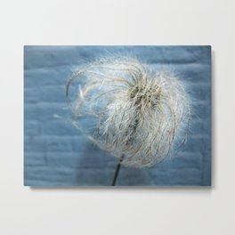 Clematis Alpina Seed head on blue Metal Print