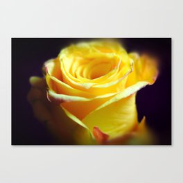 Yellow Rose With Curling petals Canvas Print