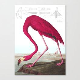 Flamingo Vintage Scientific Bird Illustration Canvas Print