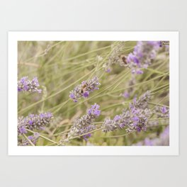 A bee on the lavender #2 Art Print