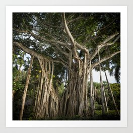 Banyan Tree at Bonnet House Art Print