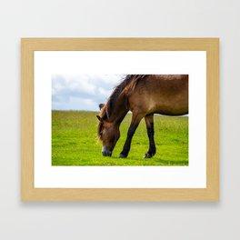 Wild horse eating grass Framed Art Print