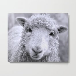 Ready For Your Closeup? Icelandic Sheep Face Metal Print