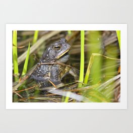 Toad in the pond Art Print