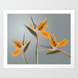 Strelizia - Bird of Paradise Flowers Art Print