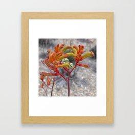 Orange Kangaroo Paw Flowers Framed Art Print