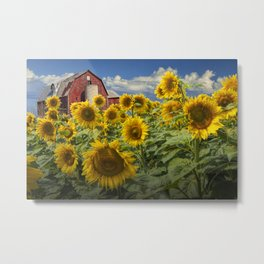 Golden Blooming Sunflowers with Red Barn Metal Print