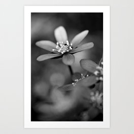 Blue spring flower Hepatica in bw Art Print