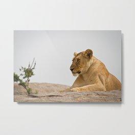 Lioness on a Rock Metal Print