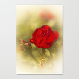 A common Rose Canvas Print