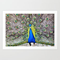 Peacock Display Art Print