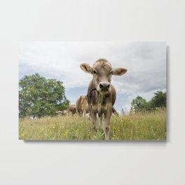 Brown Swiss Heifer Metal Print