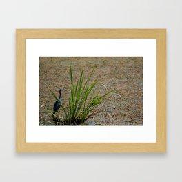 Little Blue Heron Fishing Framed Art Print