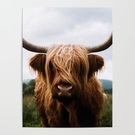 Scottish Highland Cattle in Scotland Portrait II Poster
