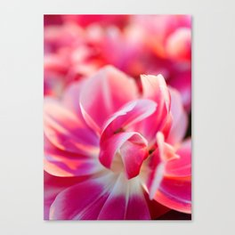 Fresh pink white red tulips Canvas Print