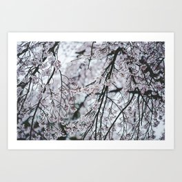 Spring Cherry Blossoms Print Art Print