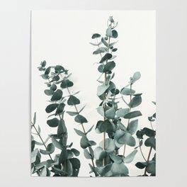 Eucalyptus Leaves Poster