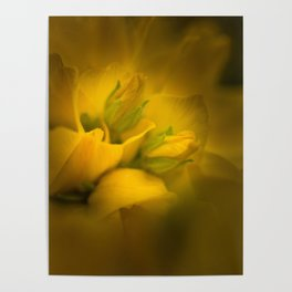 Lit petals and buds of dotted loosestrife flowers with blurred background close view Poster