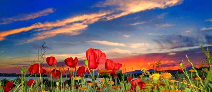 Poppies at sunset Coffee Mug