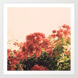 Bouganvillea Morning #3 Art Print