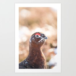 Male red grouse Art Print