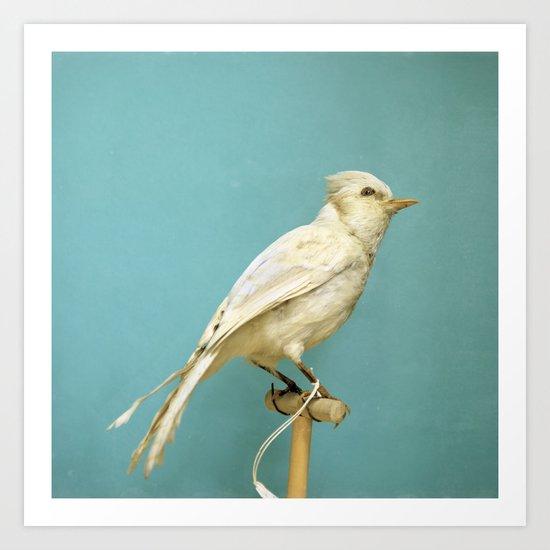 Albino Blue Jay - Square Format Natural History Bird Portrait Art Print