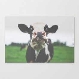 Funny Cow Photography print Canvas Print