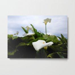 Calla lily Metal Print