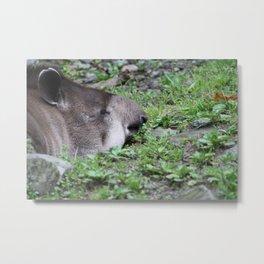 Sleeping Tapir  Metal Print