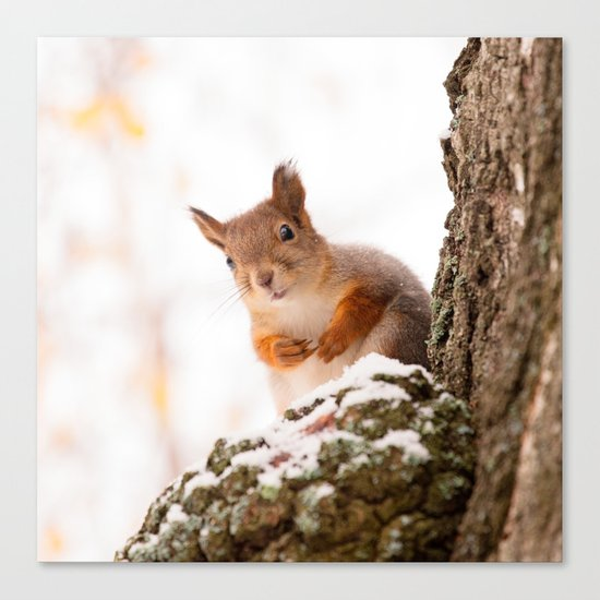Squirrel in first snow Canvas Print