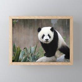 Panda Cub | China  Framed Mini Art Print