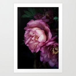 Hourly I sigh: dark pink peonies Art Print