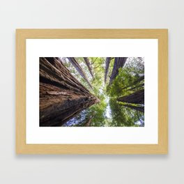 Muir Woods- Sequoia Trees Framed Art Print