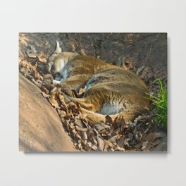 Sleeping Mountain Lion Metal Print