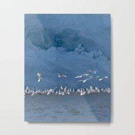 Svalbard Kittiwakes Metal Print