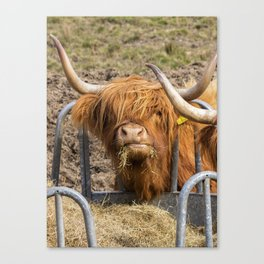 Cute hungry ginger Scottish Highland cow Canvas Print