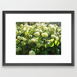 Hydrangeas Framed Art Print