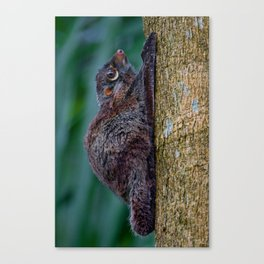 Malayan Flying Lemur Canvas Print