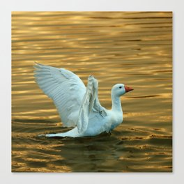 White duck on golden pond Canvas Print