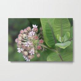 Milkweed Flower Metal Print