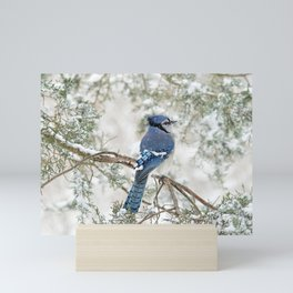 Snow Jay: American Blue Jay Mini Art Print