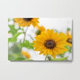 sunflower in midsummer Metal Print